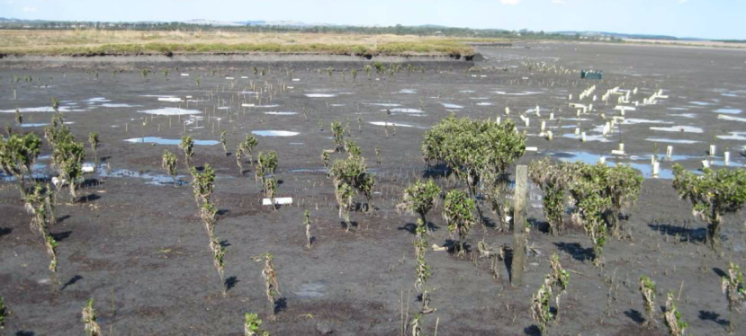 Mangrove Restoration in Western Port